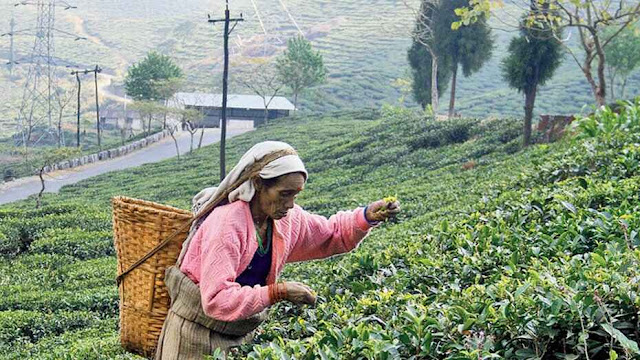 Tea Board announces dates for plucking