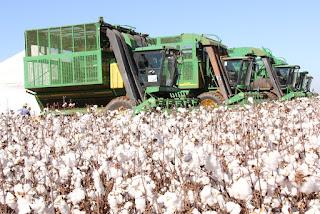 Colheita mecanizada de algodão