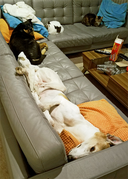 image of both dogs and both cats lying on the couch