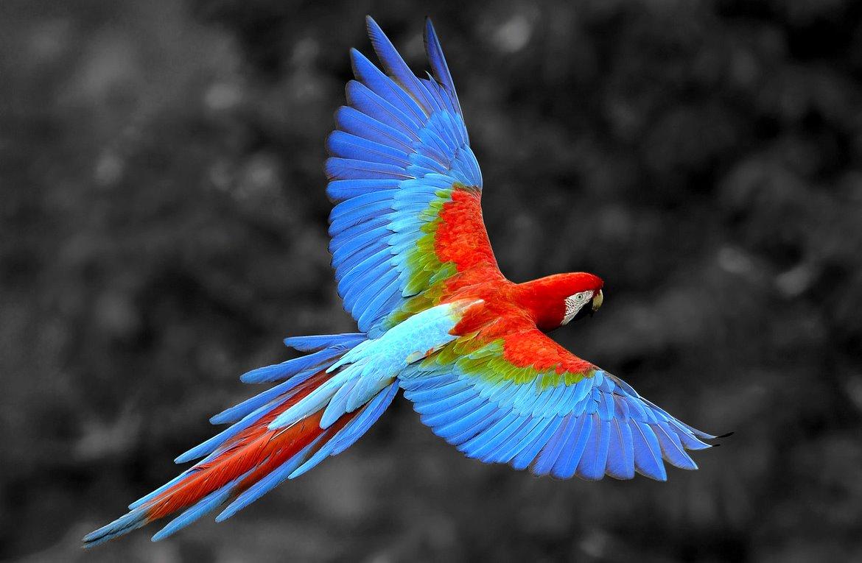 scarlet macaw birds high - photo #29