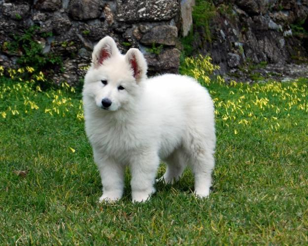 perros de raza pastor blanco suizo
