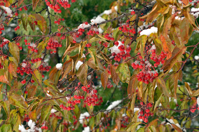 snow on small red crabapples