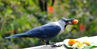 Crow kaag tihar nepali festival 2076