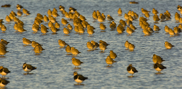 Golden plover flock with lapwing in foreground (Nb. not taken at Horsey Island). Photo copyright Andy Parkinson (All rights reserved)