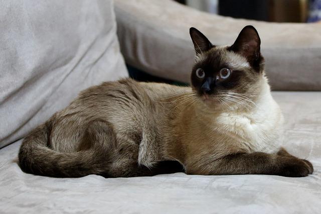 Makanan Kucing Siam Menurut Standar Breed CFA