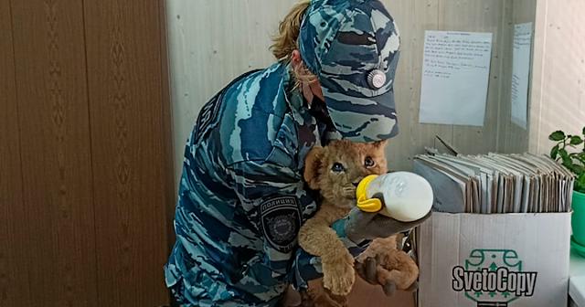 Молочного львенка без хозяина нашли в автобусе, ехавшем в Москву