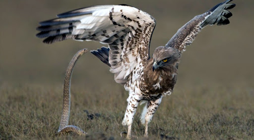 Wildlife, War between the Snake and the Hawk