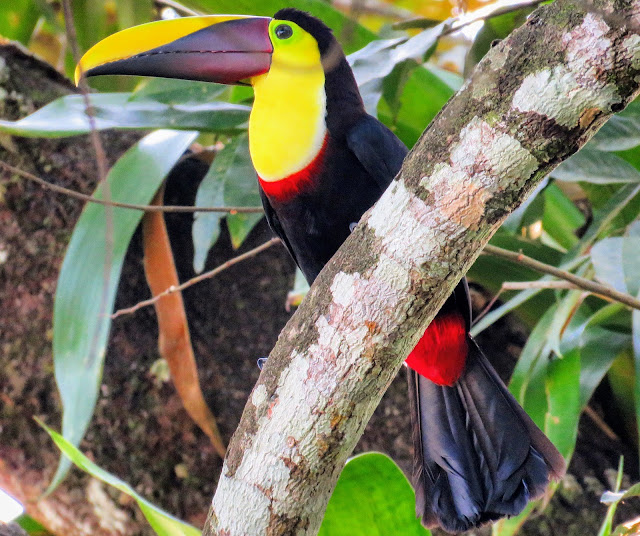 Costa Rica Birds: Chestnut-mandibled toucan or yellow-throated toucan