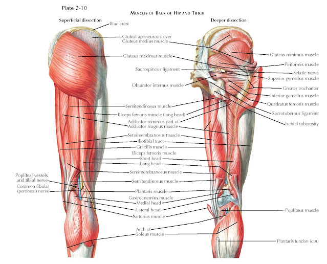 MUSCLES OF BACK OF HIP AND THIGH
