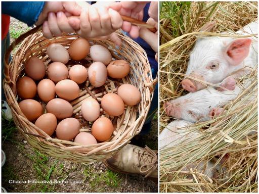 Huevos de gallina recién recolectados / Cerditos durmiendo - Chacra Educativa Santa Lucía
