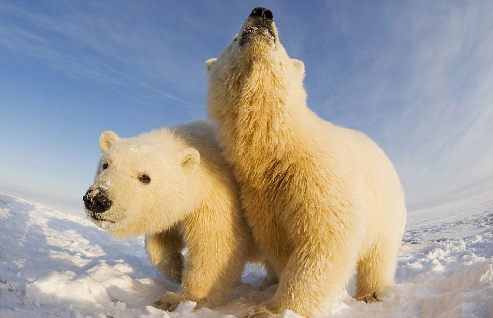 الدببة القطبية 0_94f0a_83df6e47_ori