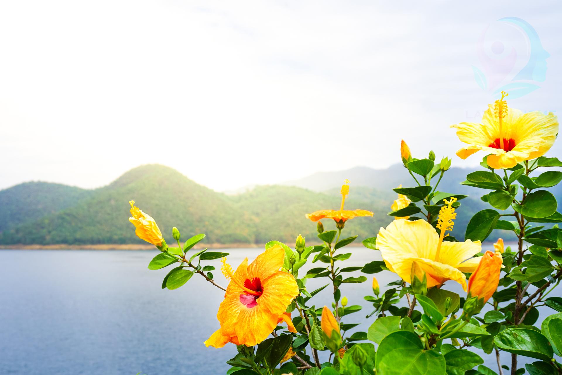 Chinese hibiscus flower