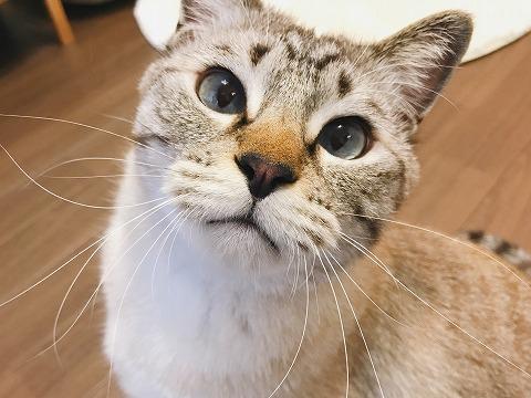 青い目を大きく見開いているシャムトラ猫