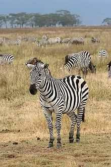 تعرف على الحمار الوحشى Zebra