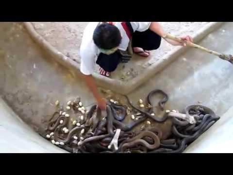 Katanya Menggiurkan - Berapa Sih Keuntungan Dari Bisnis Ternak Ular Kobra