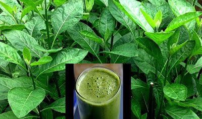 How to Improve Your Health With Bitter Leaf