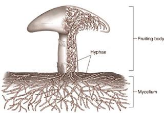Fungi bersel banyak