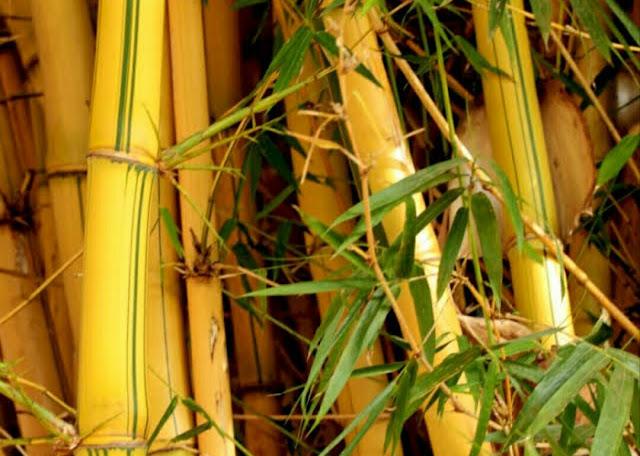 Manfaat bambu kuning