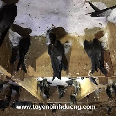 Bật mí 9 bí mật cần tránh khi xây nhà nuôi chim yến