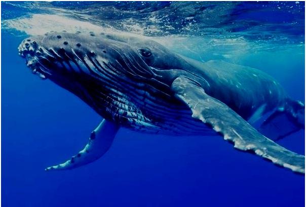 أضخم كائن موجود على الكرة الأرضية على الإطلاق..الحوت الازرق