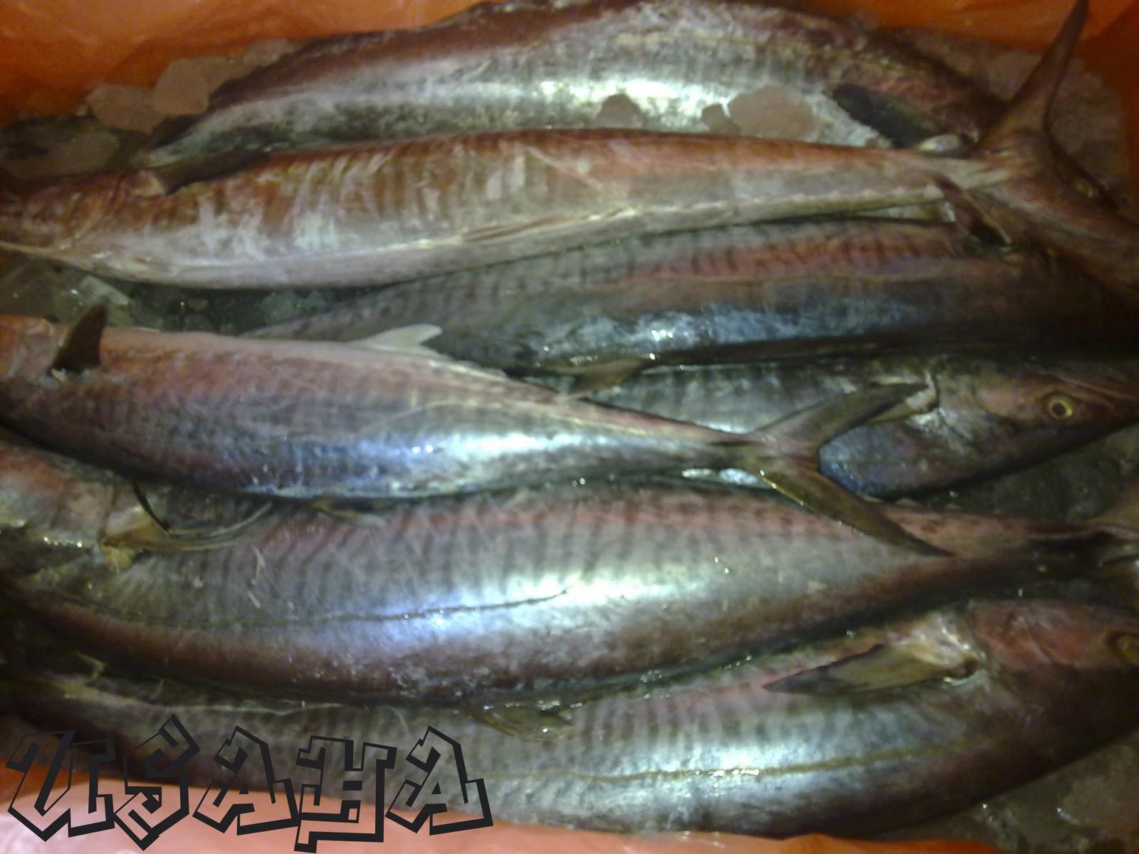 Ikan+Tenggiri+Batang+copy