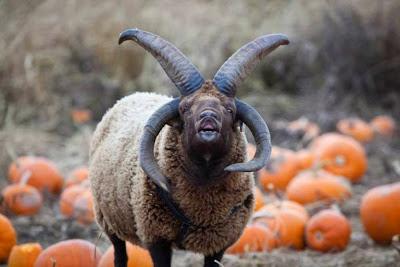 Resultado de imagem para imagens carneiros de 4 chifres holanda