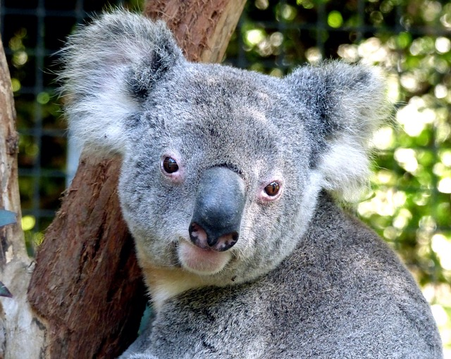 Koala Kehausan