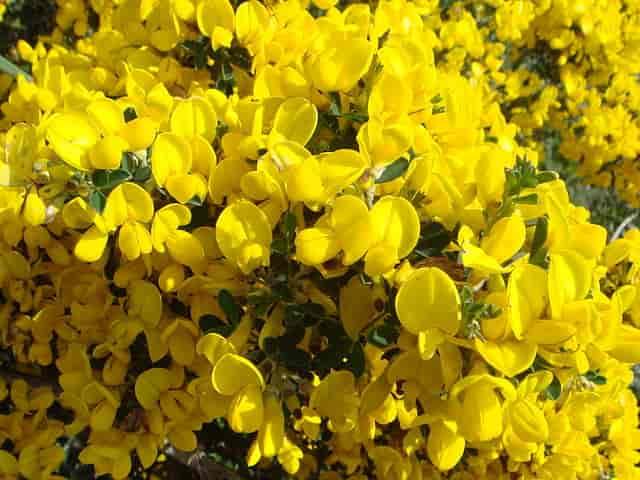 Ασπάλαθος - Calicotome villosa