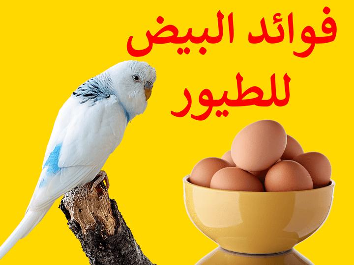 البيض,فوائد بيض الدجاج في غذاء الطيور , طيور الزينة,طائر الحسون,طائر الكناري,طيور الحب