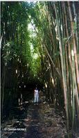 Bamboo forest, Haleakala National Park - Maui, HI