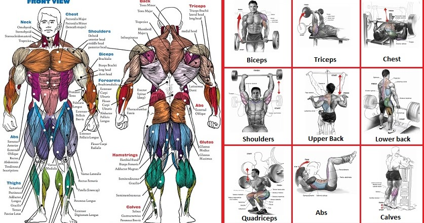 The Top Exercises For Each Muscle Group Bodydulding