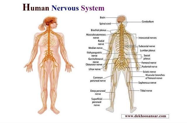 Human Nervous System - How its work for human brain nervous | Dekho Sansar