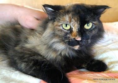 Тася - Шикарная длинношерстная кошка