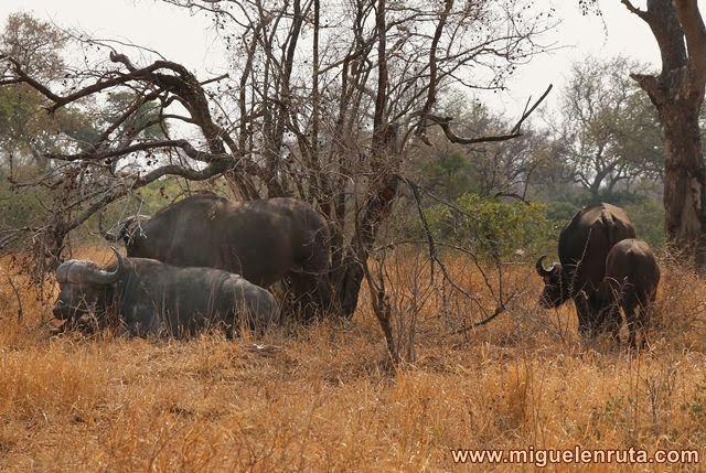 Búfalo-cafre-Kruger-Sudáfrica