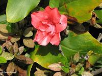 Carmin red flower - Botanical garden north of Hilo, Hawaii