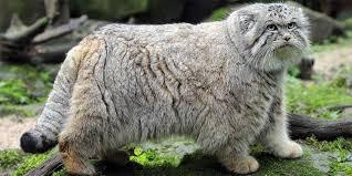 Mengenal Kucing Pallas, Kucing yang Dijuluki Kucing Hantu