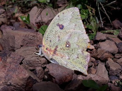 Mariposa ciprina (Phoebis neocypris)