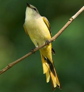 Pericrocotus cinnamomeus female