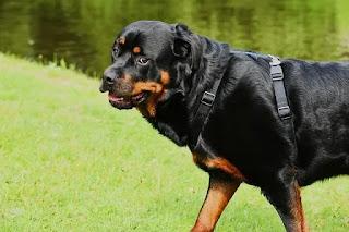 كلب الروت