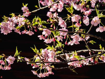 Kawazu-zakura (Cerasus lannesiana Carrière, 1872 'Kawazu-zakura') flowers: Engaku-ji