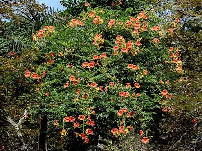 Nozen-kazura (Campsis grandiflora) flowers: Kaizo-ji