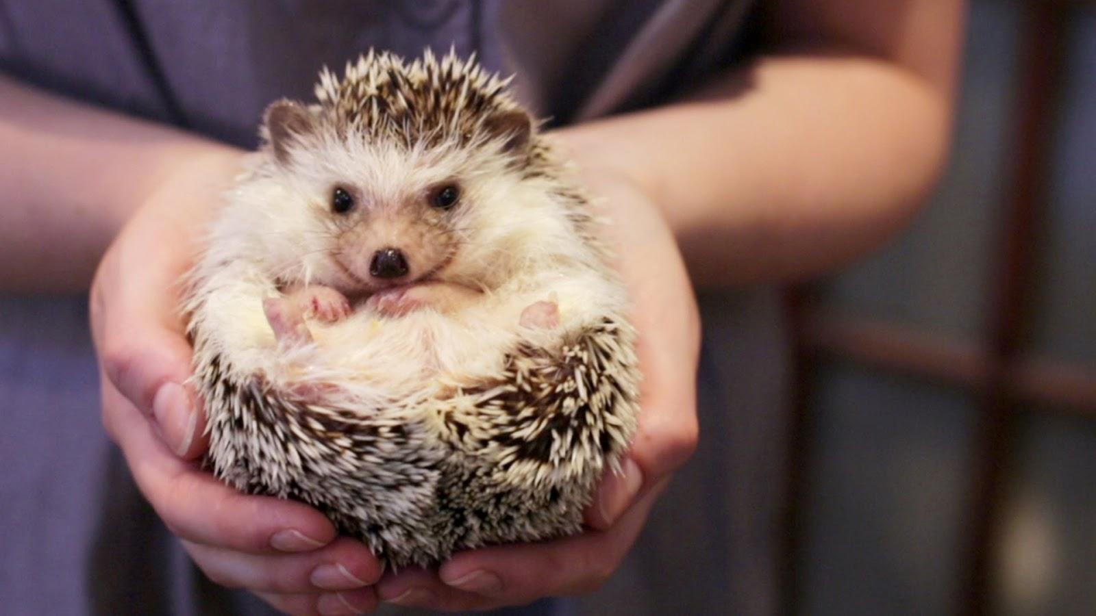 Cute Baby Hedgehog Wallpaper Curiosidades Animais Ouri 231 Os Cacheiros