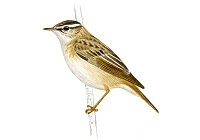 https://www.xeno-canto.org/sounds/uploaded/HKZHCDLLNS/XC350029-2016-05-29%20Low%20Newton%20-%20Sedge%20Warbler%202.mp3