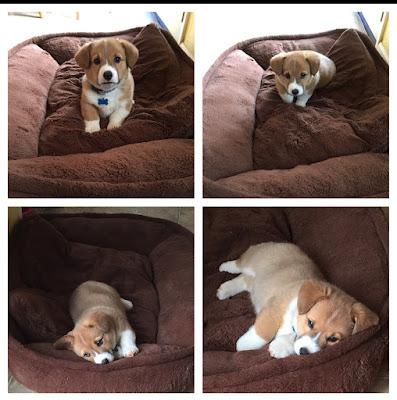 Corgi, puppy