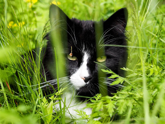 A black cat in the gras