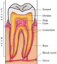 struktur lapisan enamel, email, dan dentin gigi