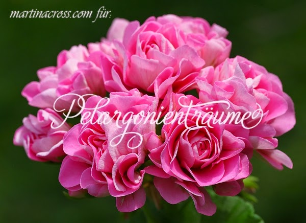 Rosengeranie-pink-Rosenblüten