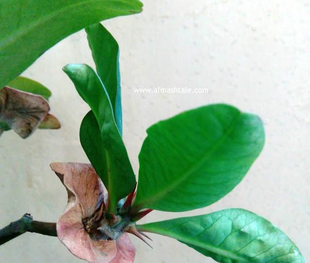 ايفوربيا ميلي  شوك المسيح Euphorbia milii