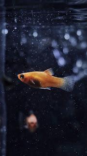 Gold Fish Mobile HD Wallpaper