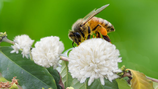 tác dụng của phấn hoa cà phê